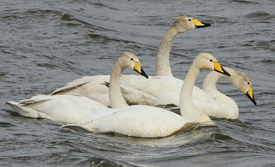 003  Whooper Swan
