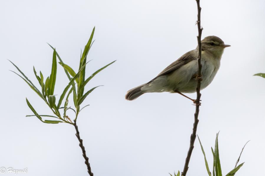 182  Willow Warbler