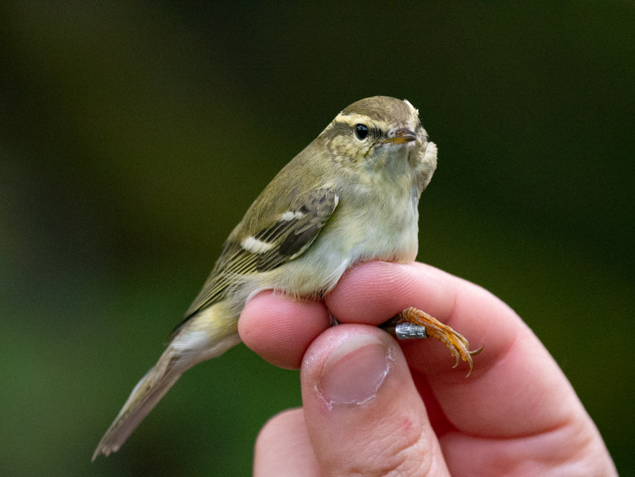 180  Yellow-browed Warbler