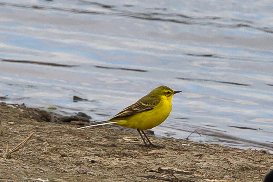 209  Yellow Wagtail