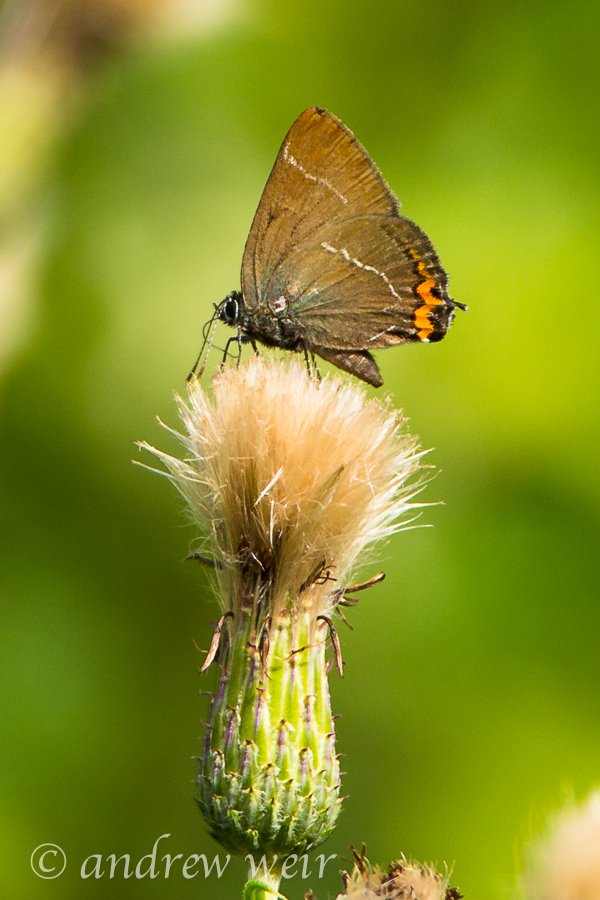 24  White-letter Hairstreak