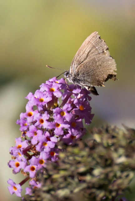 22  Purple Hairstreak