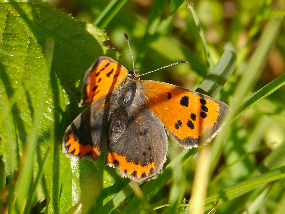 23  Small Copper