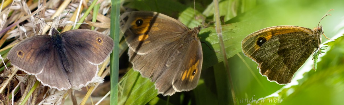 13  Meadow Brown