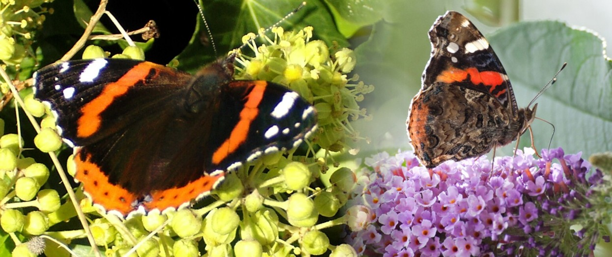15  Red Admiral