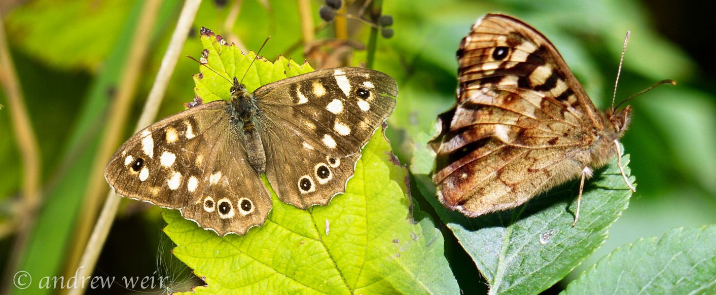 09  Speckled Wood