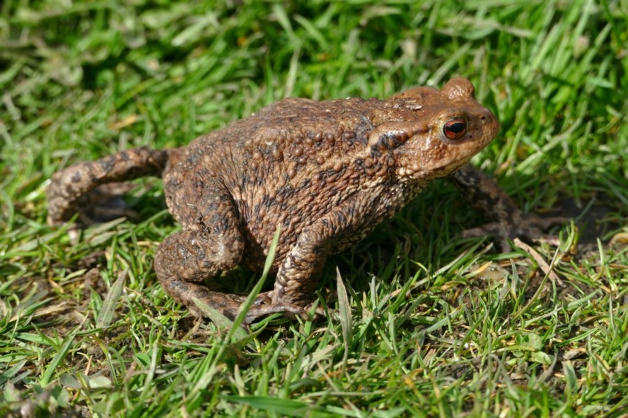 04 Common Toad