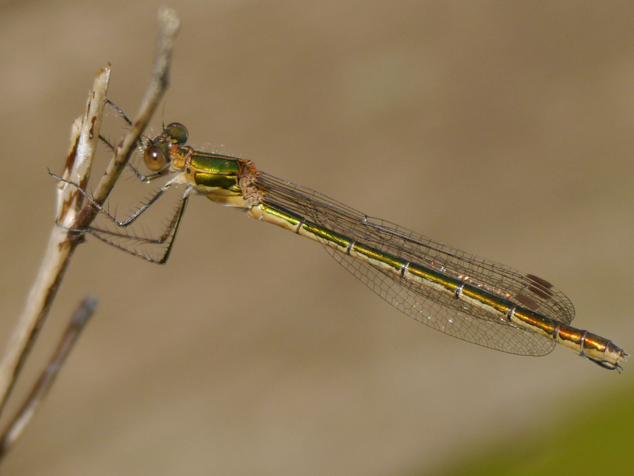07  Emerald Damselfly