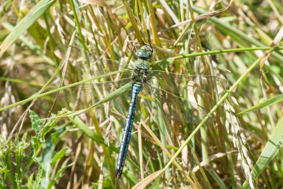 12  Emperor Dragonfly