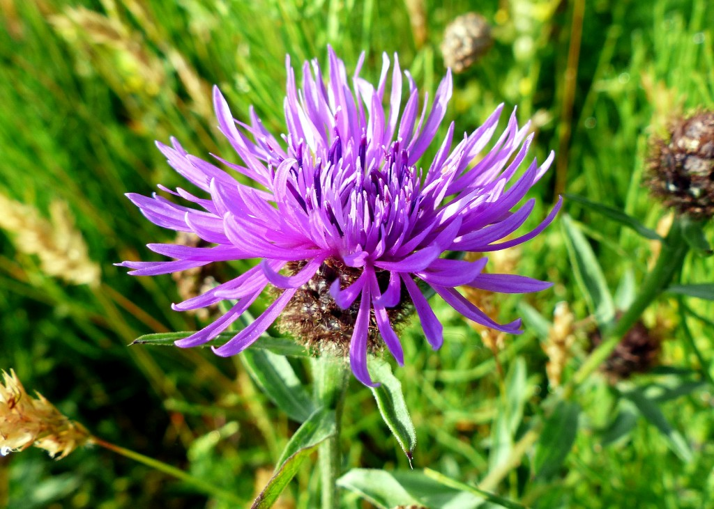 129 Black Knapweed