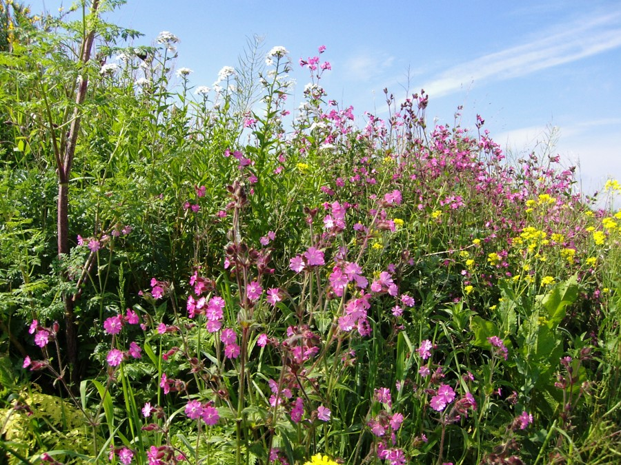 021 Red Campion