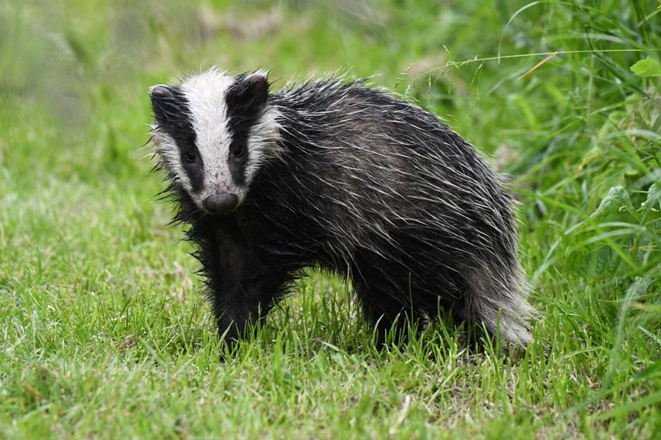 25  Badger