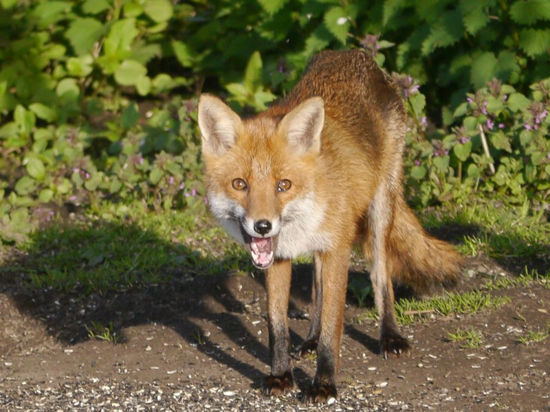 19  Fox